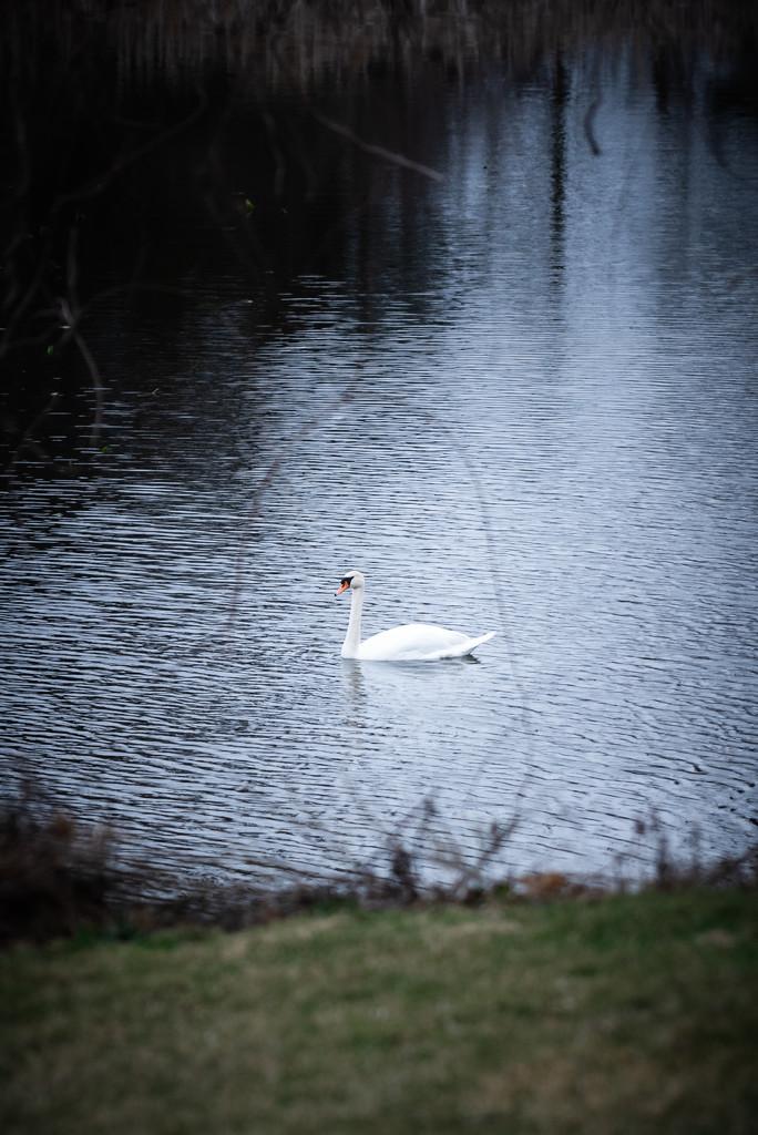 return of the swans by jackies365