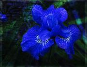 26th Mar 2021 - Night Iris