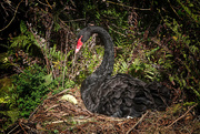 22nd Mar 2021 - Nesting black swan
