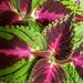 Plectranthus plant in my kitchen. E5.