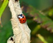 27th Mar 2021 - Ladybird
