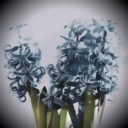 27th Mar 2021 - Hyacinth