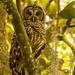 Barred Owl Mom! by rickster549