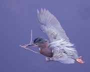 27th Mar 2021 - Green heron in flight with nesting material
