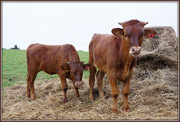 28th Mar 2021 - The longhorn babies