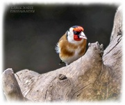 28th Mar 2021 - Goldfinch
