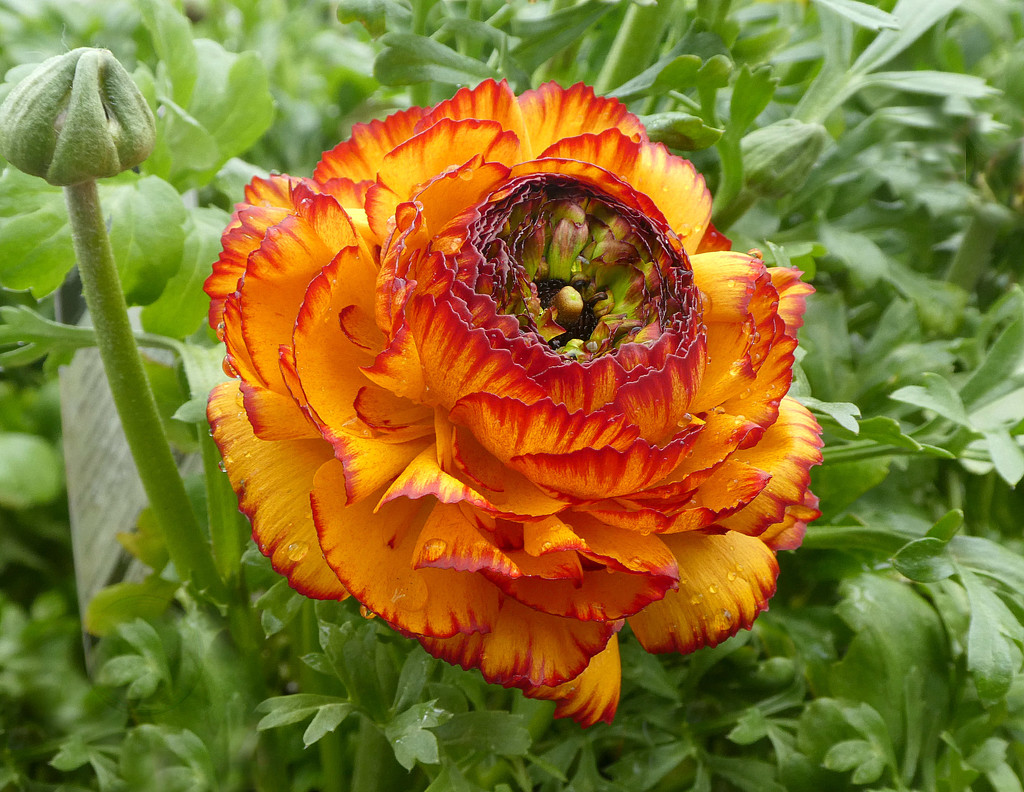 Ranunculus  by wendyfrost