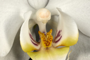 28th Mar 2021 - white orchid