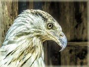 29th Mar 2021 - Fish Eagle