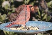 29th Mar 2021 - Cardinal