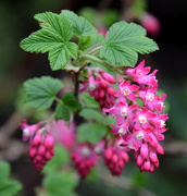 28th Mar 2021 - Flowering Currant