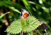 29th Mar 2021 - Ladybird