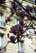 24th Mar 2021 - Magnolia