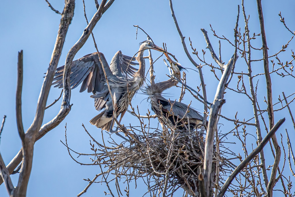 Great Blue Herons Making a Nest by jyokota