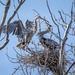 Great Blue Herons Making a Nest