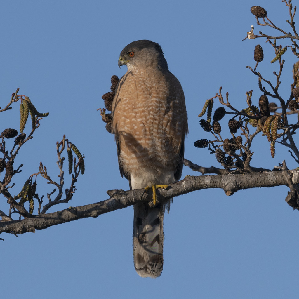 Female Coopers Hawk by mikegifford