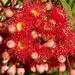 Red Flowering Gum P3180756