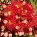 Red Flowering Gum P3180756