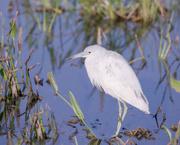 29th Mar 2021 - Juvenile little blue heron