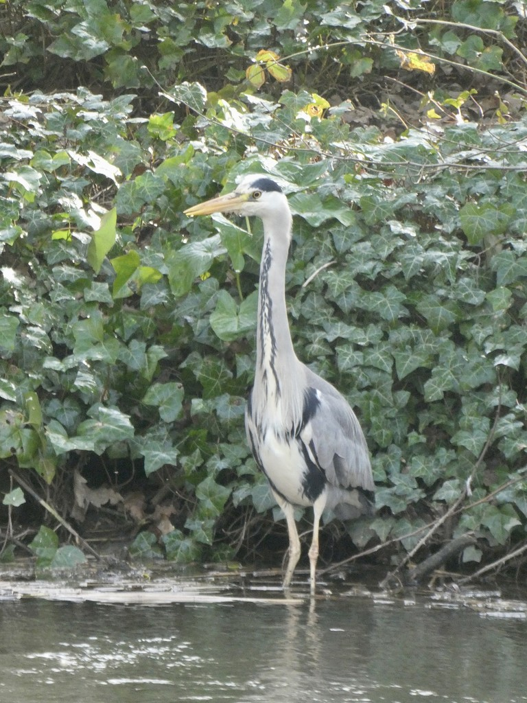 Heron on the canal by orchid99