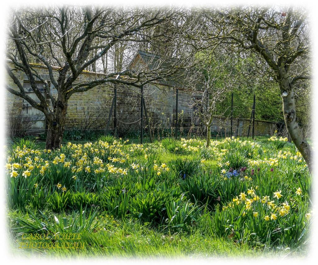 A host Of Golden Daffodils by carolmw