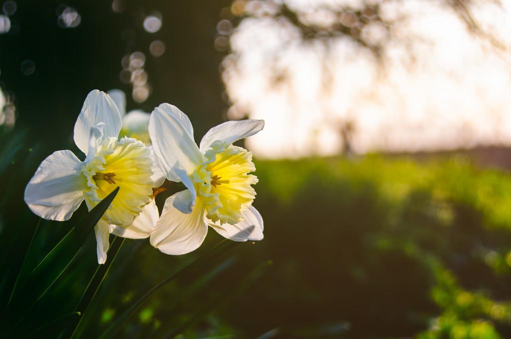 Roadside Daffodils by manek43509
