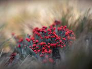 30th Mar 2021 - Cladonia coccifera