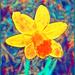 Daffodil Impressions