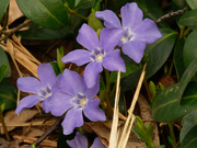 30th Mar 2021 - periwinkle