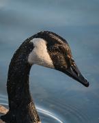 29th Mar 2021 - Canada Goose Portrait