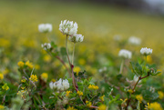30th Mar 2021 - White clover...