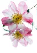 31st Mar 2021 - Pink camellia