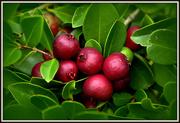 31st Mar 2021 - Guava