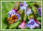 31st Mar 2021 - Bee And Pulmonaria