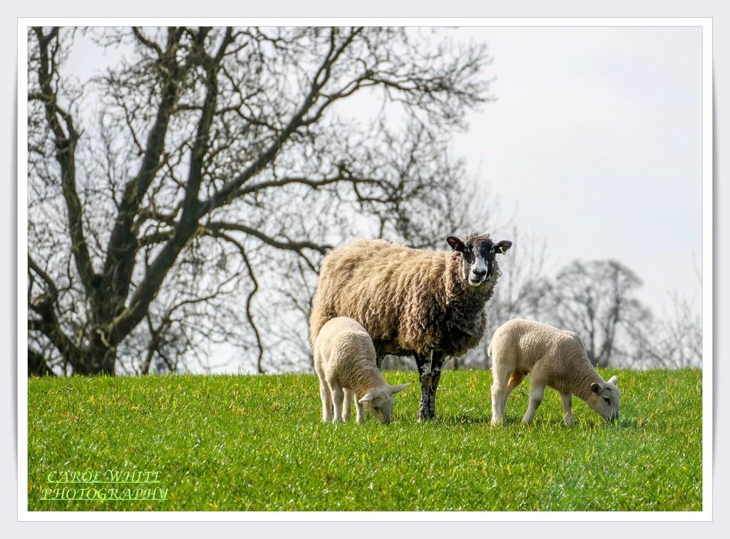 Watchful Mum by carolmw