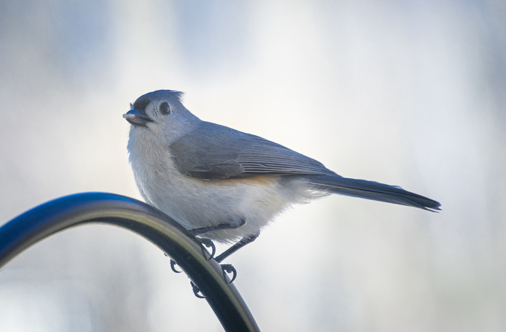 tufted titmouse by bmaddock