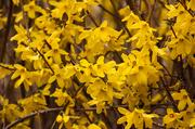 31st Mar 2021 - Yellow Forsythia