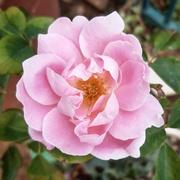 31st Mar 2021 - Pretty in Pink
