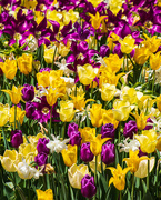 25th Mar 2021 - Purple and Yellow Tulips
