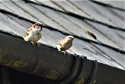 31st Mar 2021 - Mr and Mrs Sparrow