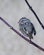 31st Mar 2021 - song sparrow