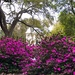 Splendid azaleas at Hampton Park