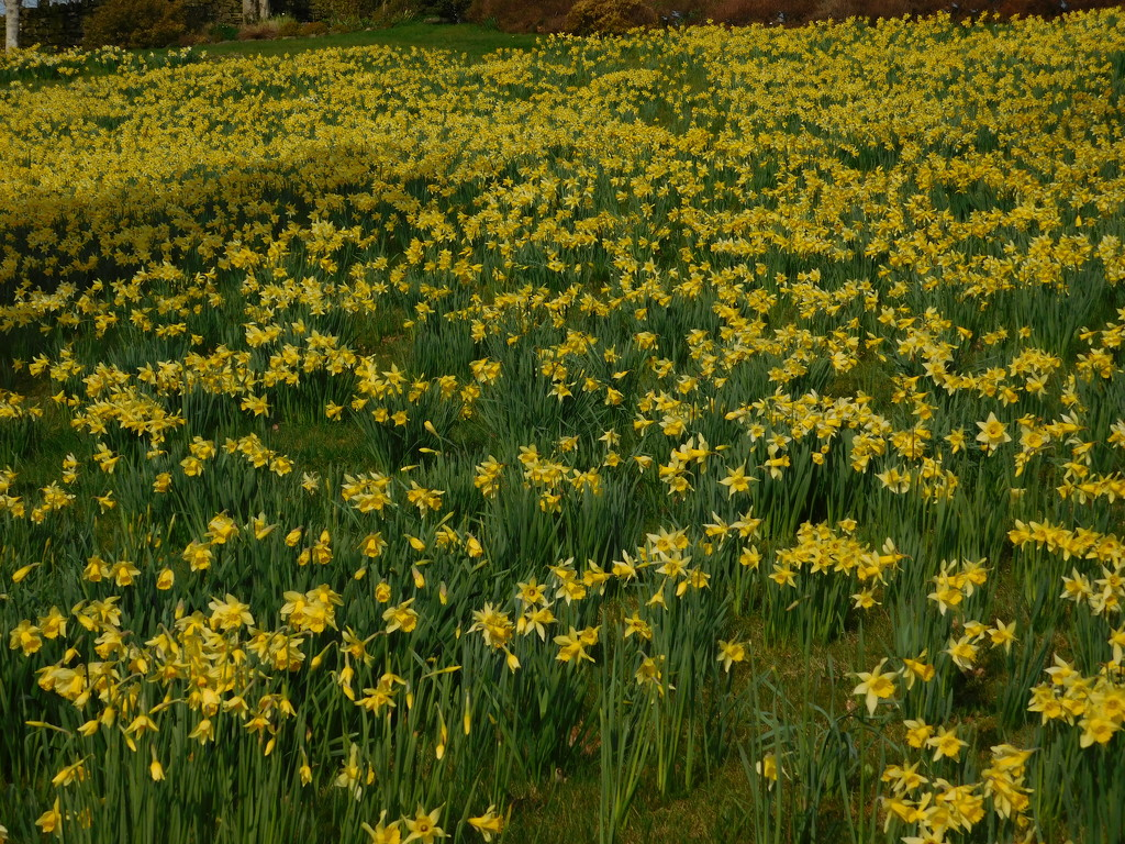 a host of yellow daffodils by anniesue