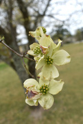 31st Mar 2021 - The Dogwood Trees are Starting to Bloom