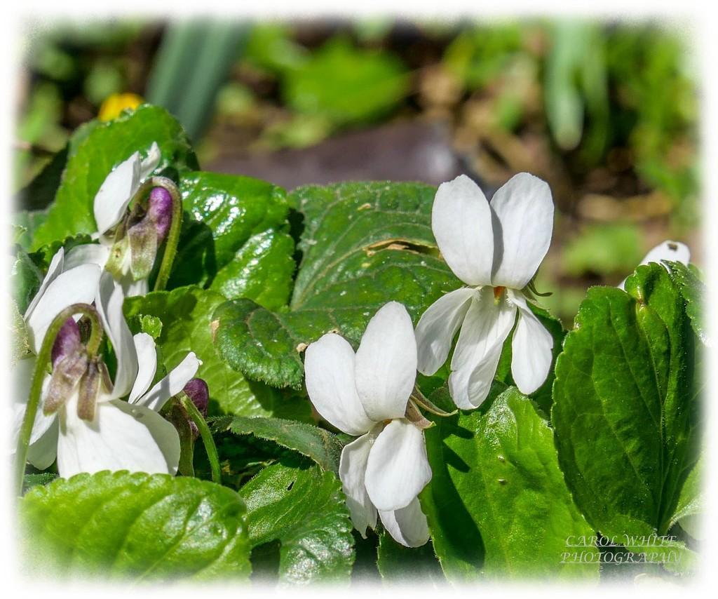 White Violets by carolmw
