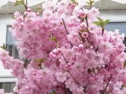 1st Apr 2021 - Pink blossom. Rishton front garden.
