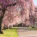 Cherry Blossom Delight