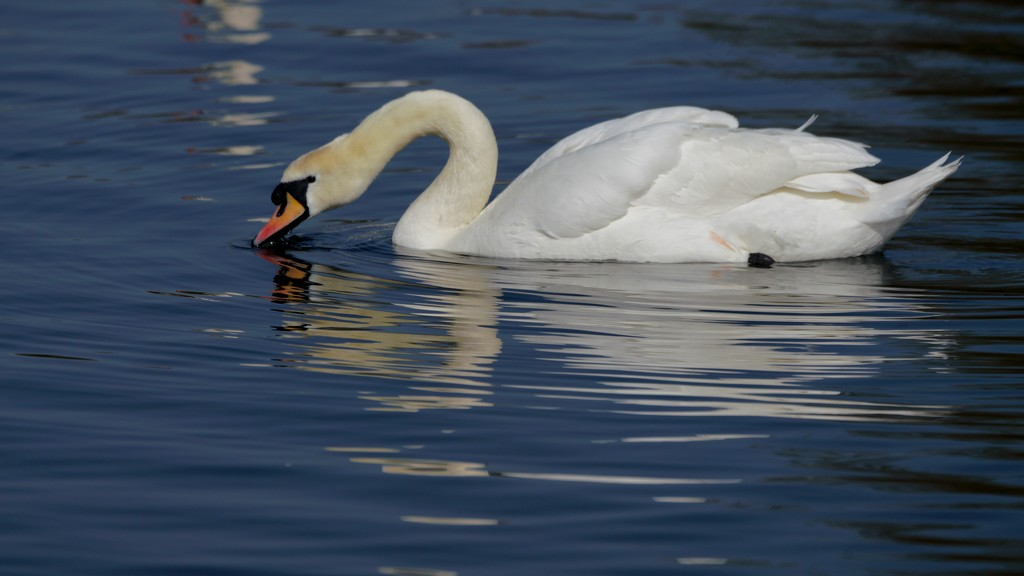 SLOWLY SIPPING SWAN by markp