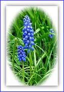 1st Apr 2021 - Muscari -Grape hyacinth