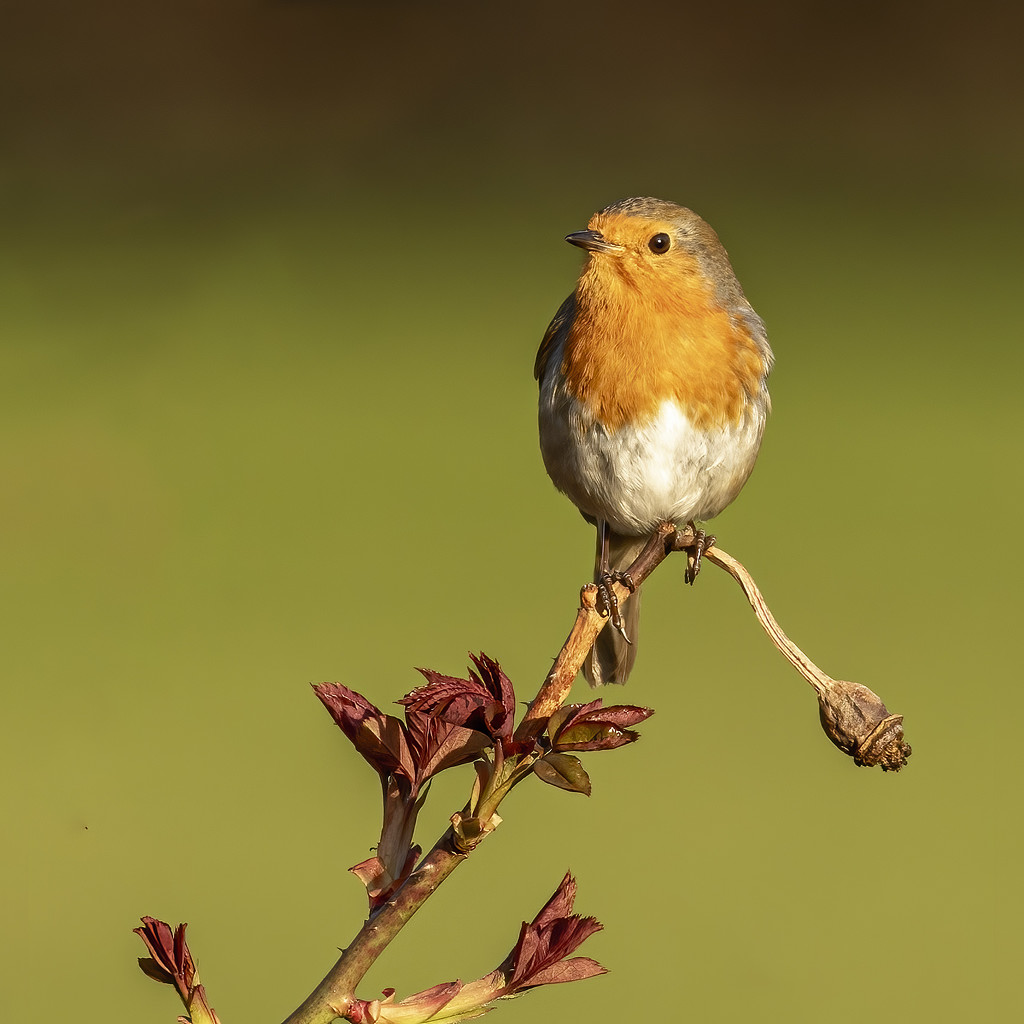 Robin on our Rose Bush by shepherdmanswife
